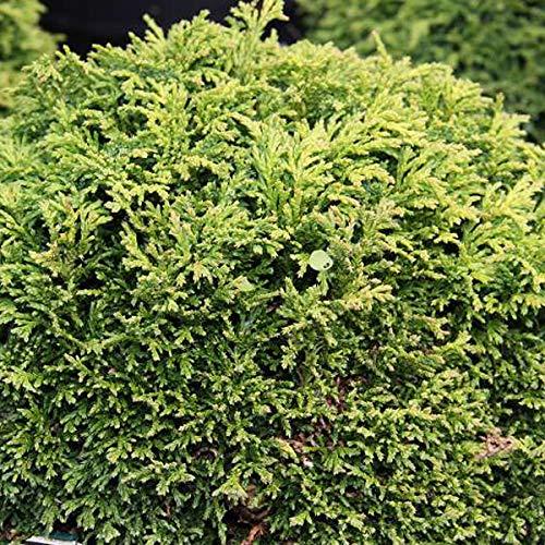 Chamaecyparis Pisifera 'Hime-Sawara'- Cyprès du Japon 'Hime Sawara' 15-20 cm en conteneur
