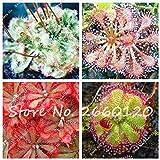 Otro: ¡Gran venta!100 Unids/lote Drosera, Semillas de Sundew Plantas Carnívoras Mini Plantas de Cactus Bonsai Semillas de Flores Para el Jardín de su Casa