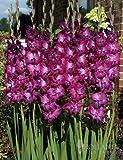 Purple Gladiolus Value Bag