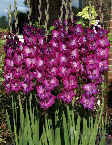 Purple Gladiolus Value Bag