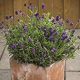 semi di piante di lavanda 20+ lavandula angustifolia biologica con fragranza semi di fiori freschi facile da coltivare per piantare giardino esterno interno
