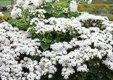 Derlam Samenhaus-100 Pcs Leberbalsam weiss Blumen Samen Duftet Blumensamen winterhart exotische Samen für Südamerika