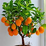 Cheap! Fruit seeds Orange Tree Seeds DWARF WASHINGTON NAVEL Grow Indoors or Outdoors 30pcs