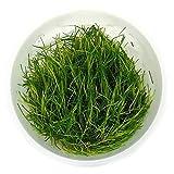 SubstrateSource Eleocharis sp. 'Dwarf Hairgrass' Live Aquarium Plant - Tissue Culture Cup