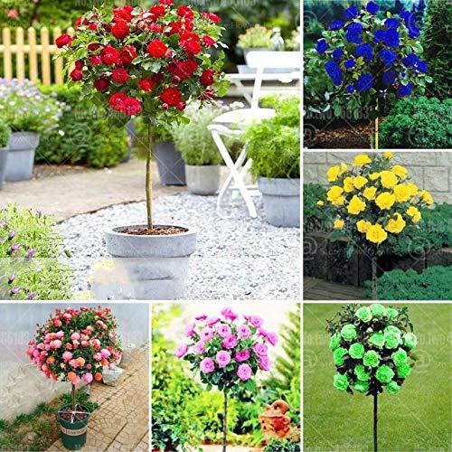 SANHOC 200pcs mehrfache Farbe stieg Blume Bonsai Pflanze Regenbogen Bonsai Rosenbaum plantas Gartendekoration Topfblume seedsplants: Mix