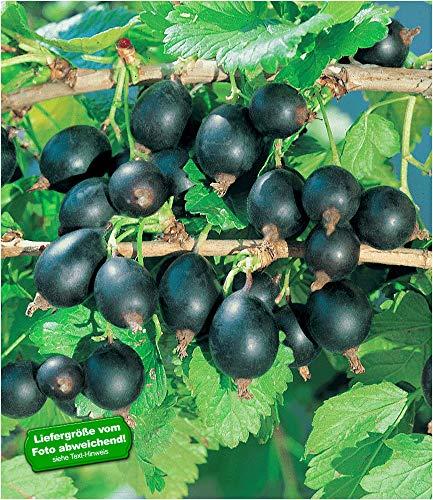 BALDUR-Garten Jostabeere, Jochelbeere 1 Pflanze Ribes