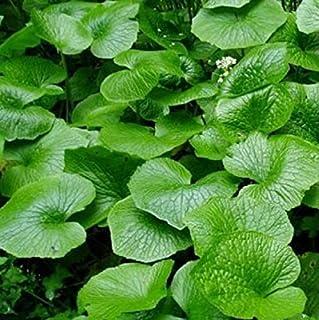 Hot Wasabi Semillas 100pcs / bolsa de semillas de rábano picante japonés vegetal Wasabia japónica jardín de Bonsai Plantas...