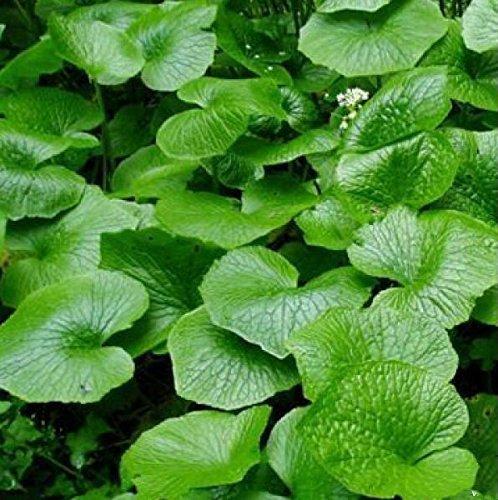 Hot Wasabi Semillas 100 Unids/bolsa Japonés Semillas de Rábano Picante Vegetales Wasabia Japonica Home Garden Bonsai Plantas Diy