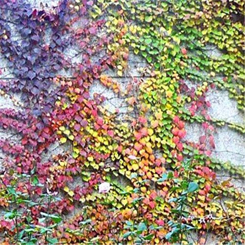 500pcs / lot verde Boston edera Semi di edera erba del seme per DIY si dirigono il giardino all'aperto piante arboree semi cadono il trasporto 4 colori