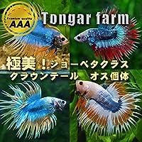 (熱帯魚)TongarFarm産 ベタ クラウンテール オス おまかせ個体(1匹)[生体]