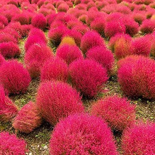Dichondra Directly managed store Max 42% OFF 30pcs Burning Bush Scoparia Seeds Kochia Plant