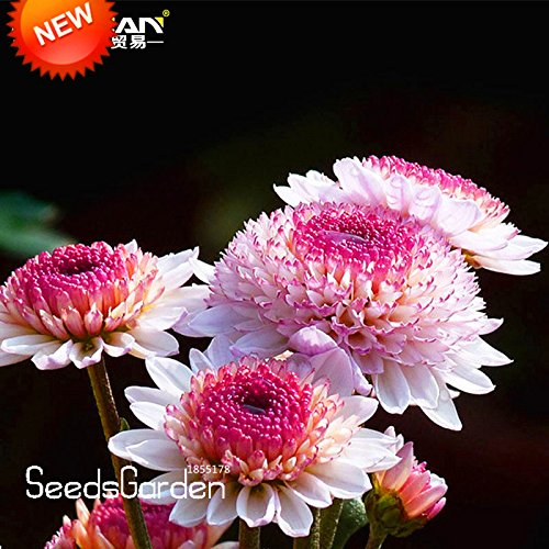 Big Promotion! 100 pcs / sac Belles Graines Couleur Blanc Hot Pink chrysanthème morifolium Graines Jardinage Plante Fleur bricolage, # BIHIWW