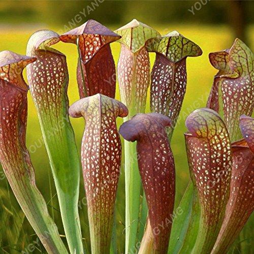 50 Pcs Jardin Plante en pot Flytrap Graine Bonsai Dionaea géant clip Graines Dionée plante carnivore des plantes graines brunes