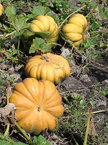 Reinsaat Kü26 Kürbis Muscade de Provence (Bio-Kürbissamen)