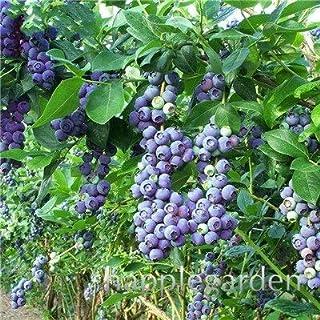 Bloom Green Co. Â¡Venta!100 Unids/bolsa Arándano Bonsai Planta de Fruta de Fruta Orgánica Comestible Enano Arándano Bonsai Ãrbol Planta en Maceta Para Jardín de Casa: 8