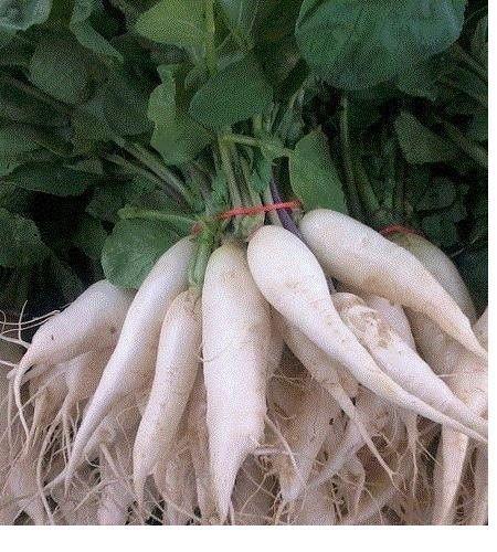 Blanc Icicle Radis 30 graines Heirloom 25 jours seulement !! à long mince délicieux grand