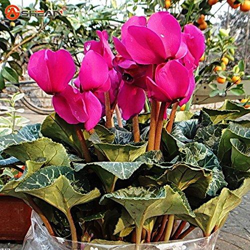 Graines pourpre Cyclamen en pot de fleurs Anti Radiation Air Purifier Bonsai Jardin des Plantes 100 particules / lot