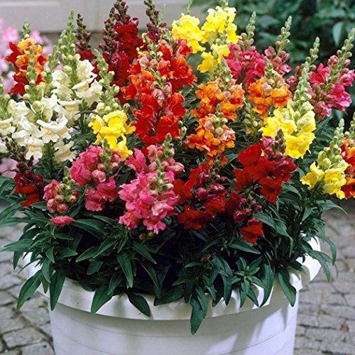 Tiowea New Nice Schitterende bloemen rustgevende zaden ruikende bloem Lupine zaden bloemenzaad Medium multi