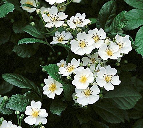Rosa multiflora, Büschelrose, Wildrose, Wurzelware