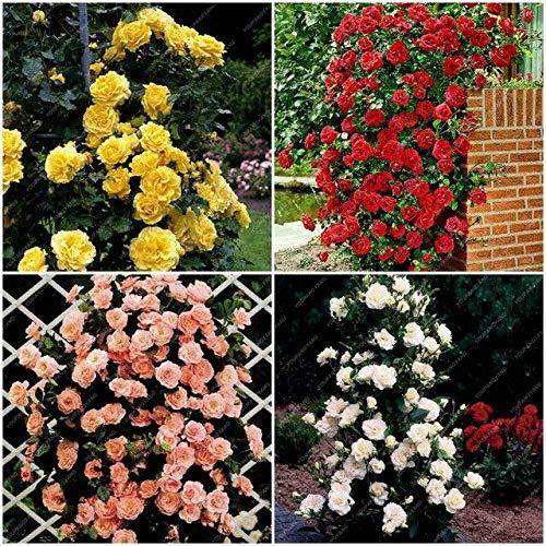 HONIC 100pcs Misti Piante perenni Rosa rampicante Rosa Rosso Bianco Giallo Roses Fiori