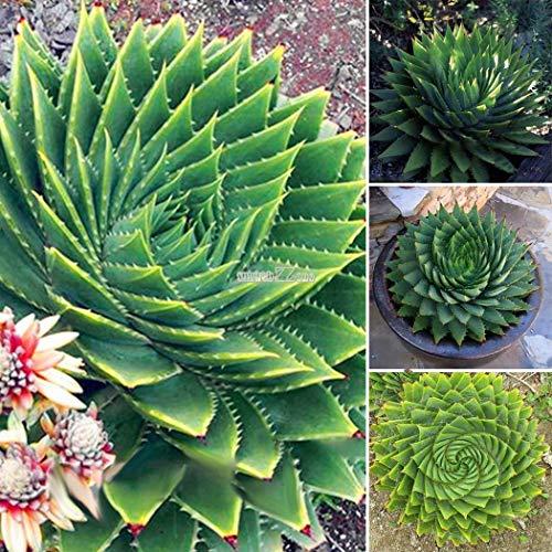 Portal Cool Grün: 100 Stücke Darden Dekorative Sukkulenten Pflanze Bonsai Rotation Aloe Vera Samen Rr6