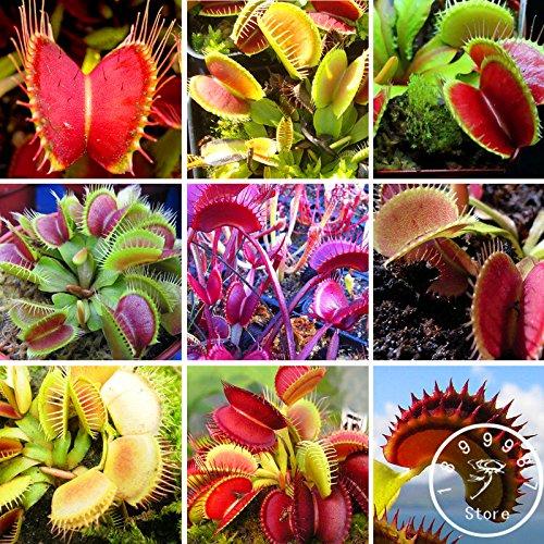 Mix: 200 Teile/paket Insektenfressende Pflanzensamen Dionaea Muscipula Giant Clip Venus Fliegenfalle Samen Fleischfressende Pflanze, Tonx1O