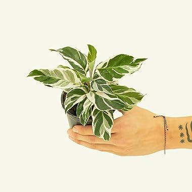 "Calathea 'Fusion White' - Calathea leitzei   Live, Easy to Grow and Rare Houseplant (4"" Wide Pot)"