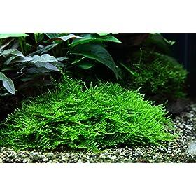 Tropica Aquarium Pflanze Moos Taxiphyllum Spiky