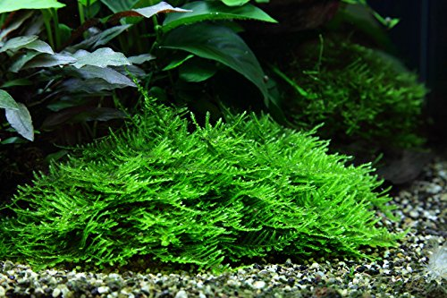 Tropica Aquarium Pflanze Moos Taxiphyllum 'Spiky Nr.003G TC in Vitro 1-2 Grow Wasserpflanzen Aquarium Aquariumpflanzen