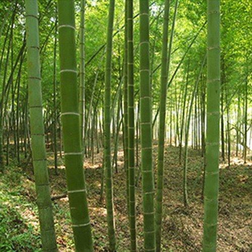 100 pcs/sac géant MOSO Graines de bambou MOSO Bamboo Arbre Graines Home Garden cour Graines de bambou