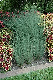 3 Blue Arrow Rush Grass in 4 Inch Containers (3 Pots of Plants)