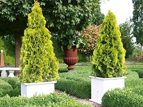 Thuja Golden Smaragd Occidentalis - Lebensbaum winterhart - Thujen-Hecke als Sichtschutz - Heckenpflanze 15-20cm - 1 Pflanze im Topfballen von Garten Schlüter - Pflanzen in Top Qualität