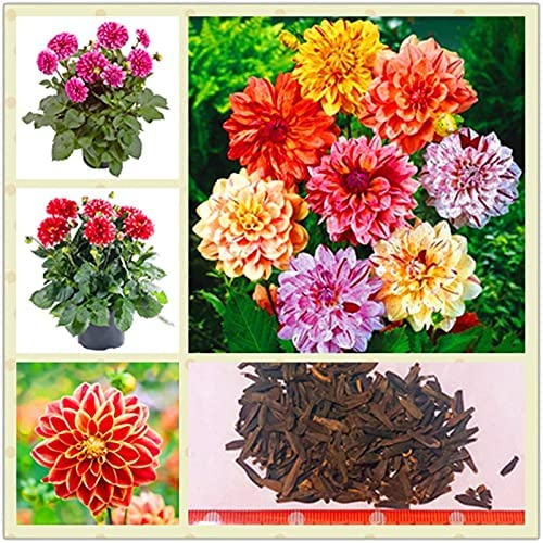 Max 84% OFF 50Pcs Bag Dali Seed Ranking TOP20 Plant Multi-Color Fa DIY Flower Garden