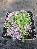 Thymus praecox minor - Teppichthymian - Polsterthymian - Preis nach Stückzahl 5 Stück