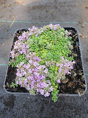 Thymus praecox minor - Teppichthymian - Polsterthymian - Preis nach Stückzahl 10 Stück