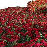 Petunia - Tidal Wave Red Velour - Great for Containers and Landscape - AAS Winner -Flower Seeds - 100 Seeds