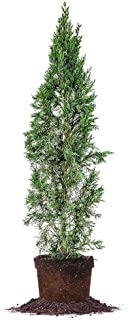 Italian Cypress - Size: 3-4', Live Plant, Includes Special Blend Fertilizer & Planting Guide