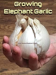 Elephant Garlic Seeds/Corms 10 for Giant Bulbs/from Giant Bulbs