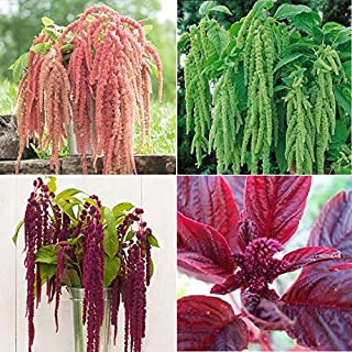 David's Garden Seeds Collection Set Flower Amaranth Open Pollinated PC8776 (Multi) 4 Varieties 1700 Non-GMO, Open Pollinated Seeds