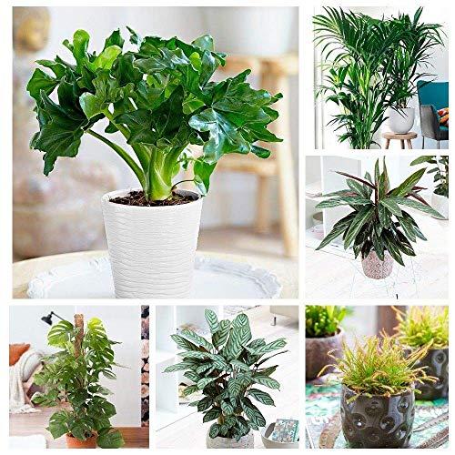 Portal Cool Kaffeepflanze: 100Pcs Green House Pflanzen Leicht Philodendron Samen Calathea Monstera Diy To Care