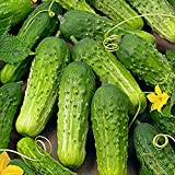 'Boston Pickling ' Cucumber Seeds Continuous Producing High Yields