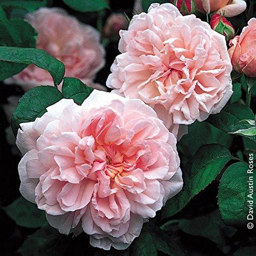 """Pflanzen Kölle Englische Rose """"Eglantyne"""" von David Austin - cremerosa blühende, duftende Topfrose im 6 L Topf - frisch aus der Gärtnerei Gartenrose"""