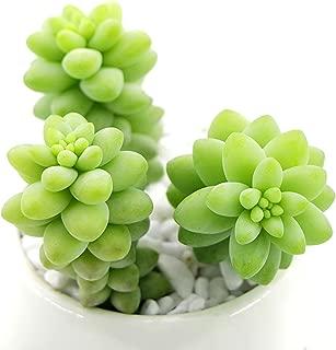 Succulent Sedum Morganianum 'Donkey Tail' 'Burro's Tail' 5 Fresh Cuttings