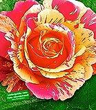 Delbard® Malerrosen® 'Claude Monet®', 1 Pflanze Edelrose