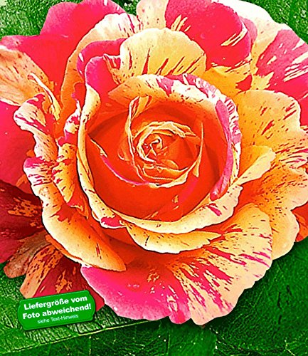 BALDUR Garten Delbard® Malerrosen® 'Claude Monet®', 1 Pflanze Edelrose