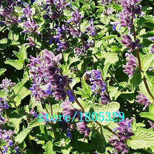 100 pcs Rosemary Seeds Bricolage Jardin des plantes faciles à cultiver Herb, graines de légumes sains