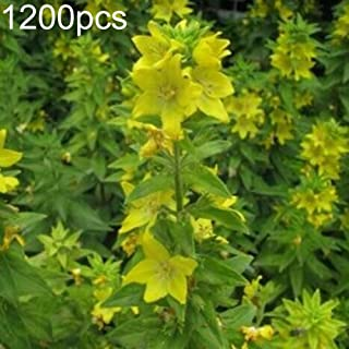 AzsfUfsa53 Package of 1200Pcs Non-GMO Wild Flower Seeds, Yellow Rattle Rhinanthus Minor Plant Seeds for Garden, Bonsai, Home Decor & Air Purification Rhinanthus Minor Seeds