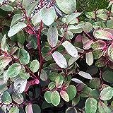 ヨウシュコバンノキ3号ポット苗 Breynia nivosa Roseo-picta  品種で選べる低木 カラーリーフ 1個売り 学名 Breynia nivosa Roseo-picta コミカンソウ科 トウダイグサ科 ブレイニア属 非耐寒性常緑低木 小型の常緑低木で 新葉に白や赤 ピンクの美しい斑が入り 寄せ植えや鉢植えに向きます 熱帯各地によく植えられており 剪定にも耐えるので熱帯地域では生け垣にも利用されます  商品の特性上 背丈 形 株張り等 植物には個体差がありますが 同規格のもの 送らせて頂いております また 植物ですので多少の枯れ込みやキズ等がある場合もございます 予めご了承下さい