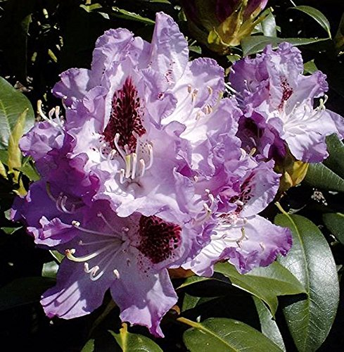 Rhododendron Farbe