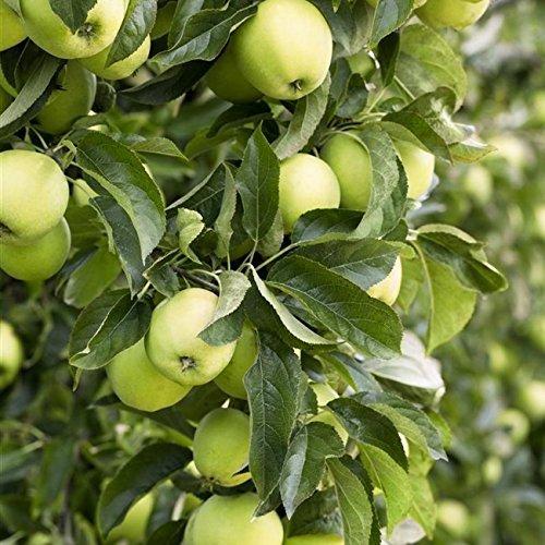 Apfel Baum 'Weißer Klarapfel' früh Malus domestica im 7,5L Topf gewachsen 150-200cm winterharter Obstbaum